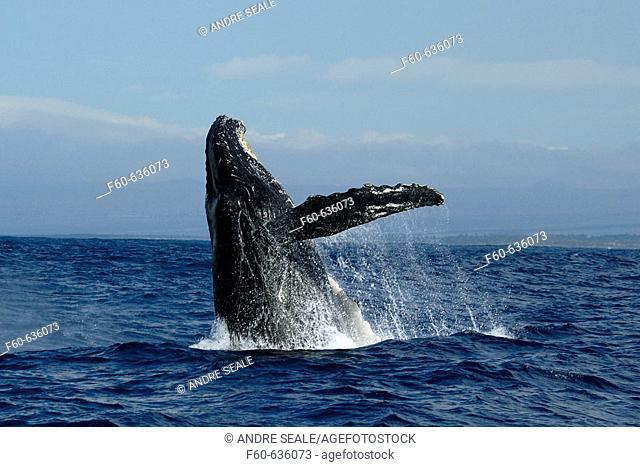 Humpback whale (Megaptera novaeangliae), breaching, Kailua-Kona,  Big Island, Hawaii (Pacific)