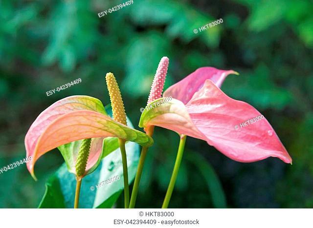 Beautiful spadix flower