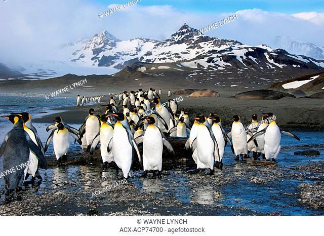 King penguins (Aptenodytes patagonicus), St. Andrews Bay, Island of South Georgia, Antarctica
