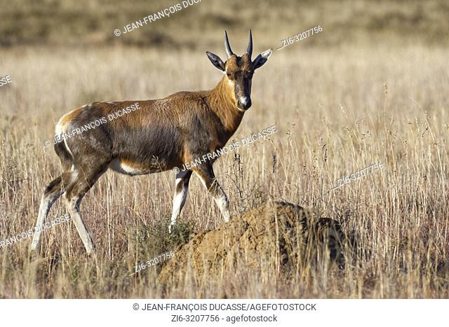 Blesbok (Damaliscus pygargus phillipsi), young, walking in open grassland, alert, Mountain Zebra National Park, Eastern Cape, South Africa, Africa