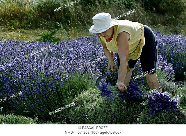Mid adult woman cutting crops with the help of a sickle in a field, Provence, France