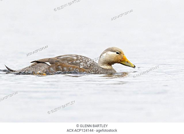 Flying Steamer Duck (Tachyeres patachonicus) swimming in a small lake in Chile