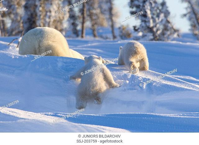 Polar Bear (Ursus maritimus, Thalarctos maritimus). Cubs following mother through snow. Wapusk National Park, Canada