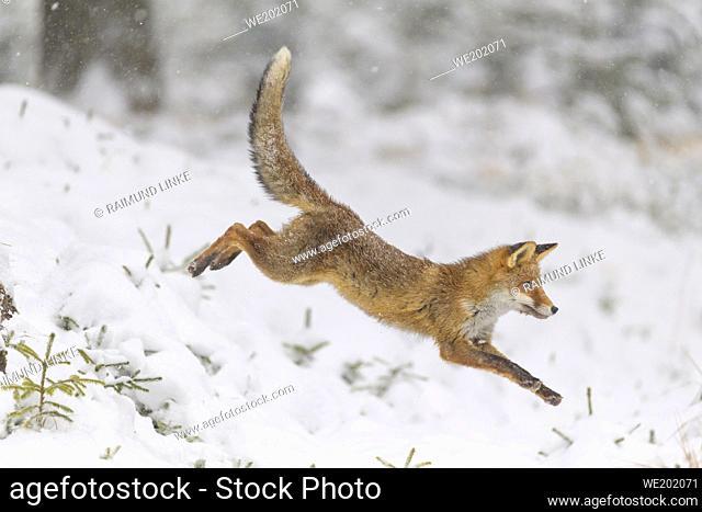 Red Fox, vulpes vulpes, in winter