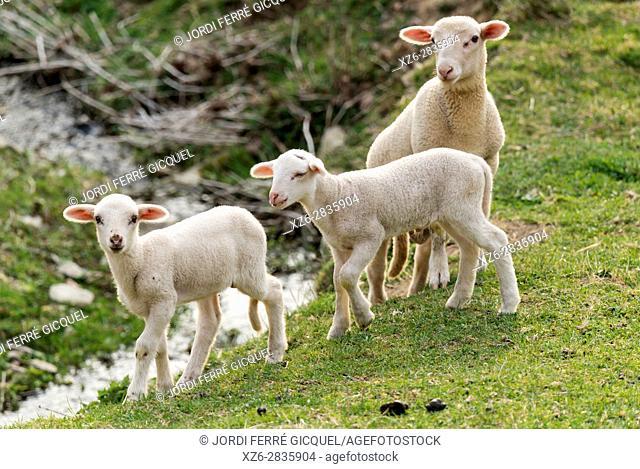 Lambs in a green field, Sant Pau de Segúries, Ripollès, Catalonia, Spain, Europe