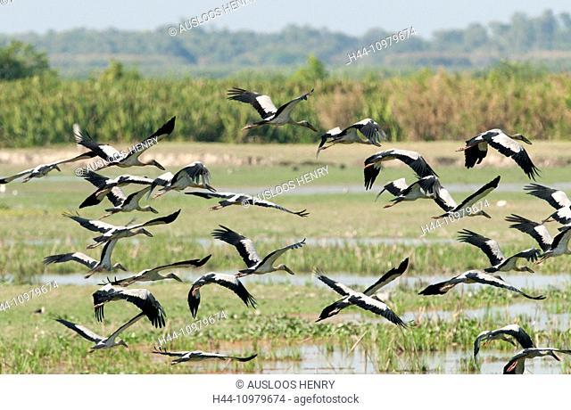 Asian openbill, Flight, Tale Noi, Thailand, bird, wader, group, anastomus oscitans