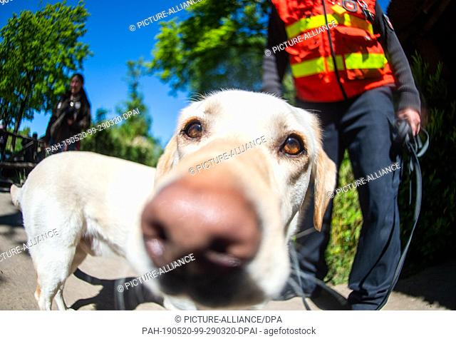 15 May 2019, Lower Saxony, Hanover: Chili, the 4 year old Labrador and personal tracker dog of Lars Oellermann, service dog handler