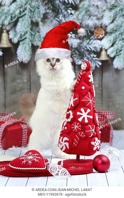 Cat, Birman kitten wearing Christmas hat with Christmas decorations