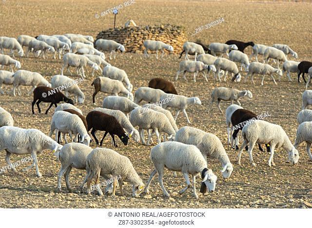 "Flock of ""Manchega"" sheep. Sugel. Almansa. Albacete . Castile-La Mancha. Spain"