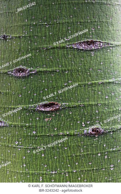 Trunk of the Kurrajong tree (Brachychiton populneus), native to Australia