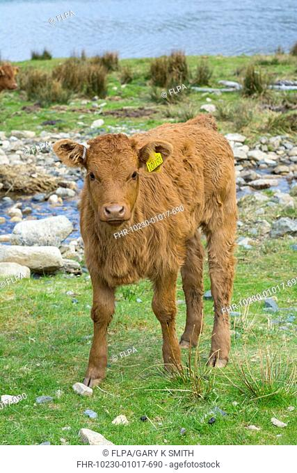 Domestic Cattle, Luing calf, standing beside freshwater loch, Loch Ba, Benmore Estate, Isle of Mull, Inner Hebrides, Scotland, May