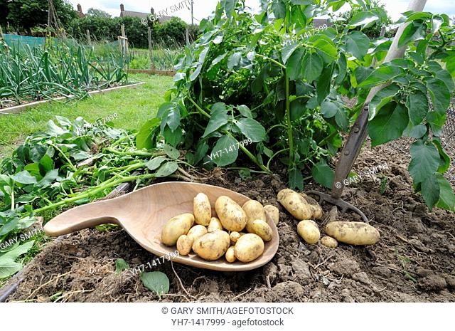 Allotment potatoes, variety, 'charlotte', second early type, waxy salad potato, freshly dug tubers on soil with garden fork and wooden bowl, UK, June