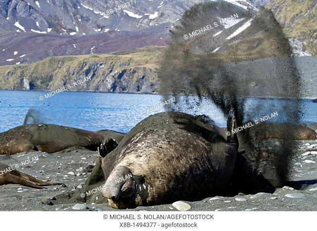 Adult bull southern elephant seal Mirounga leonina flipping sand onto its back to cool off on South Georgia Island in the Southern Ocean  MORE INFO The southern...