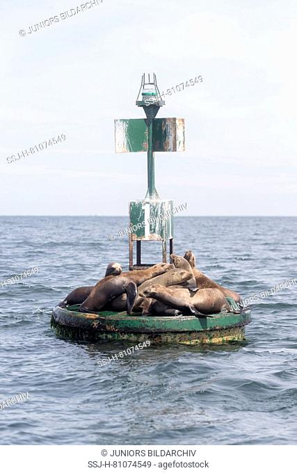 California Sealion (Zalophus californianus). Group sunning on the base of a navigation buoy. Baja California, Mexico