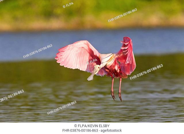 Roseate Spoonbill Ajaia ajaja adult, in flight, landing on water, Florida, U S A , February