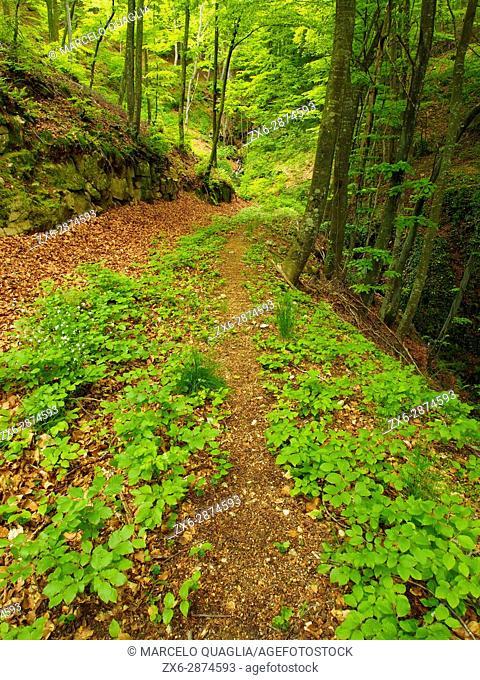 Beech forest (Fagus sylvatica) at Sot del Boixaus stream, Pla de les Plateres site. Springtime at Montseny Natural Park. Barcelona province, Catalonia, Spain