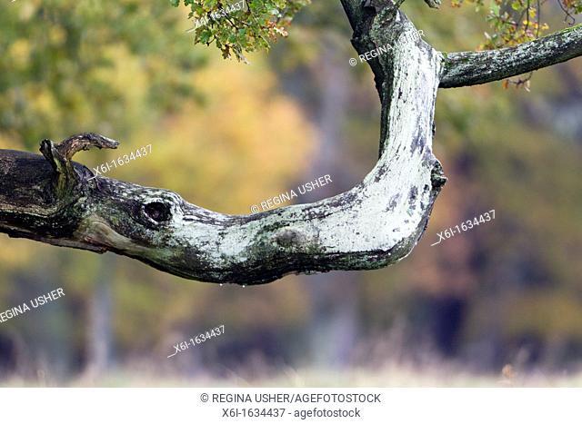 Oak Tree Quercus robur, Branch Resembling the Head of a Rhinoceros, Klampenborg Park, Copenhagen, Sjaelland, Denmark