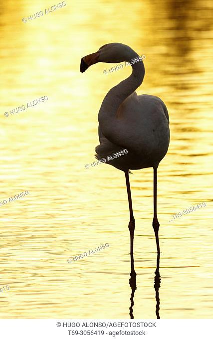 Greater flamingo (Phoenicopterus roseus). Camargue. France