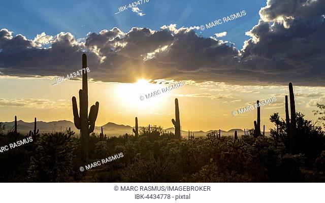 Landscape with Saguaro cacti (Carnegiea gigantea), sunset with dark clouds, Saguaro National Park, Arizona, USA