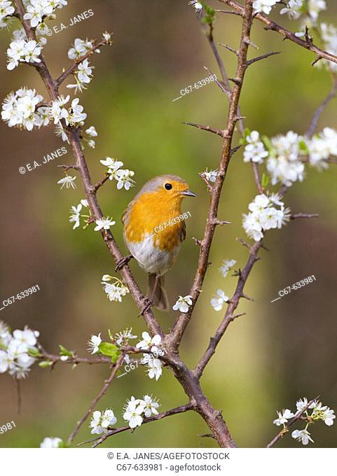 Robin (Erithacus rubecula) & Blackthorn Blossom