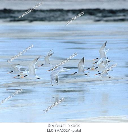 A Flock of Lesser Crested Terns Sterna bengalensis Flying Over Tidal Flats  Vamizi Island, Quirimbas Archipelago, Mozambique, Africa