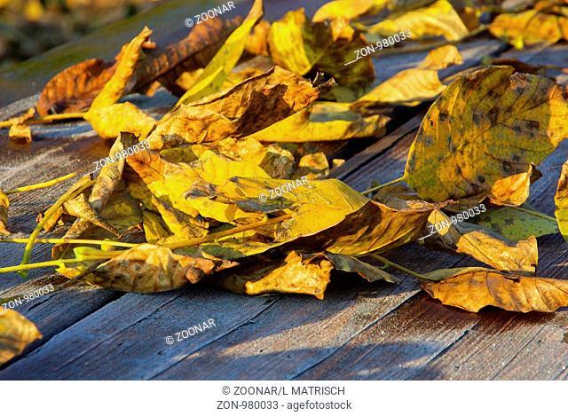 Walnussblatt - leaf from walnut 05