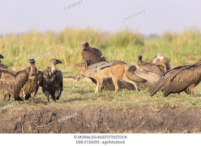Africa, Southern Africa, Bostwana, Chobe i National Park, Chobe river, African bush elephant or African savanna elephant (Loxodonta africana)