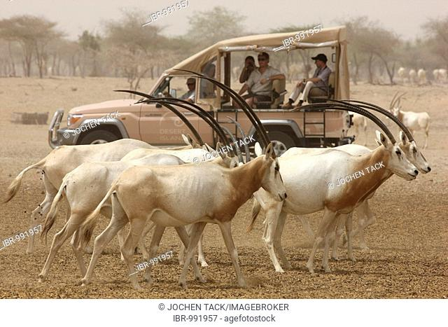 Scimitar-horned Oryx, (Oryx dammah), Game drive at Sir Bani Yas Island, private game reserve in the Persian Gulf with over 10000 steppe animals, near Abu Dhabi