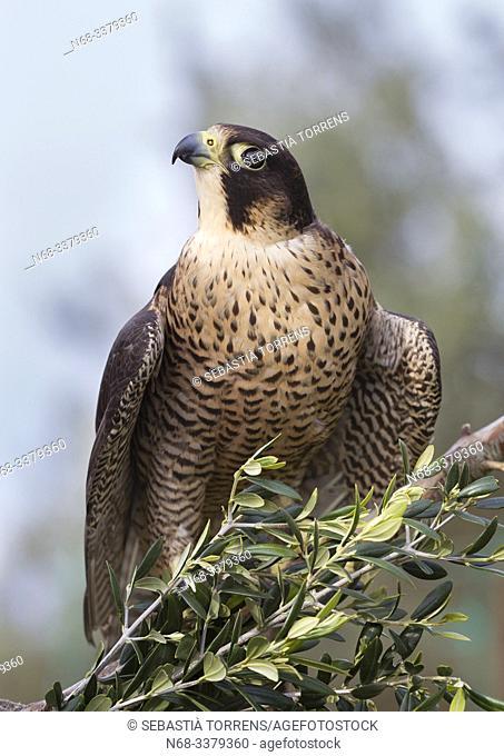 Peregrine falcon (Falco peregrinus) on a branch, Bunyola, Majorca, Spain