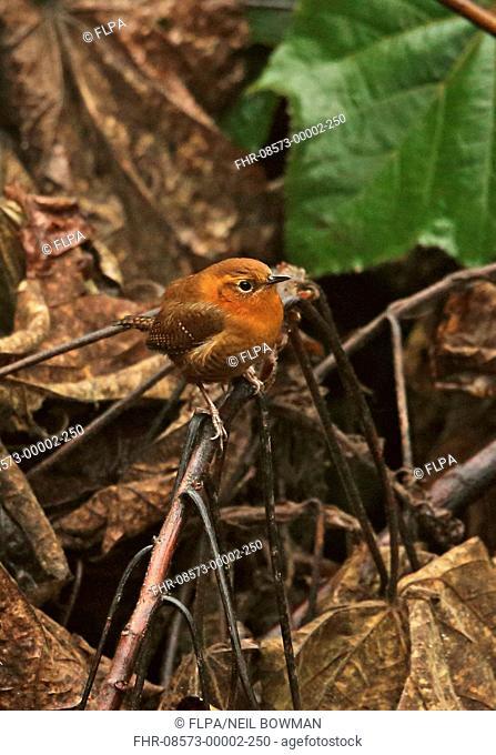 Rufous-browed Wren (Troglodytes rufociliatus rehni) adult, perched on twig, La Tigra N.P., Honduras, February