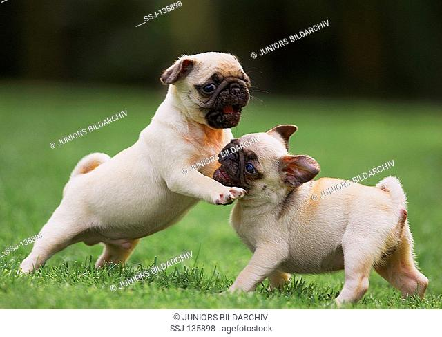 two pug puppies - playing on meadow restrictions:Tierratgeber-Bücher / animal guidebooks
