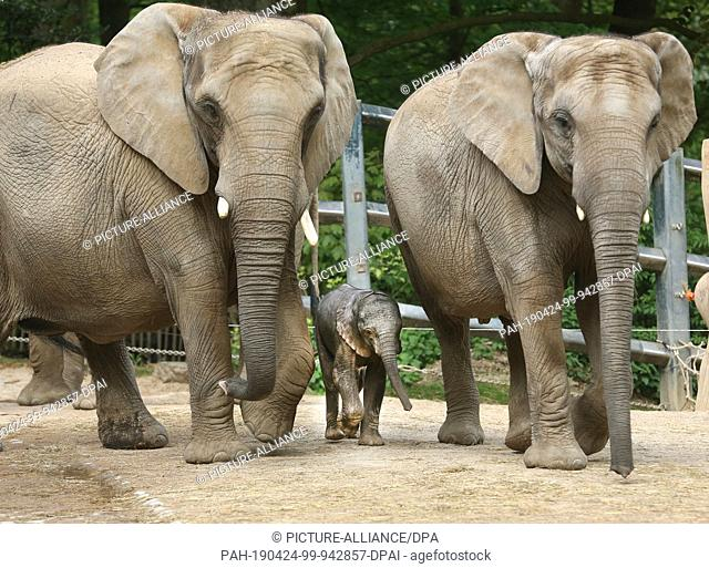 24 April 2019, North Rhine-Westphalia, Wuppertal: A few days after his birth, elephant baby Gus goes for a walk in the zoo with mother Sabie (r) and father...