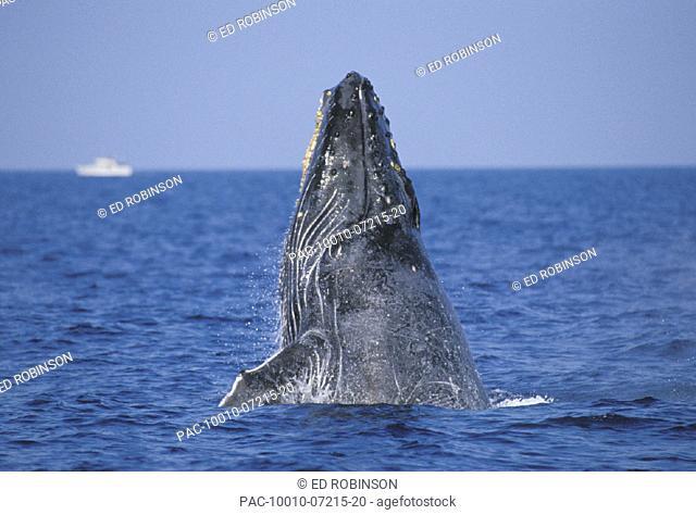 Hawaii, Humpback Whale (Megaptera novaeangliae) breaching