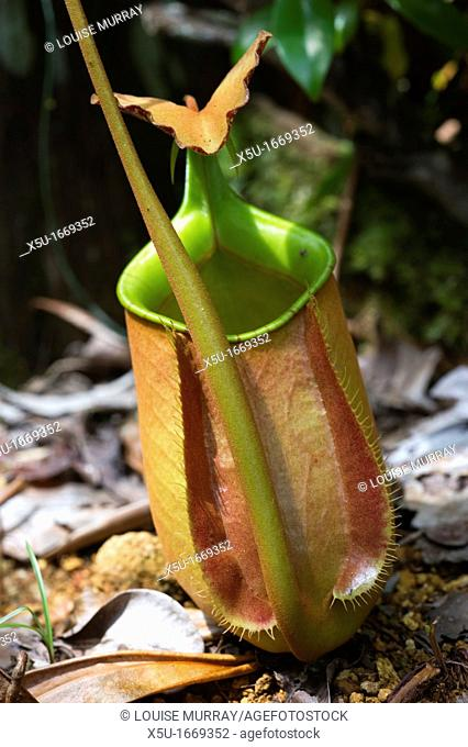 Nepenthes attract prey to their pitchers through actively attractive colours, sugary nectar, and even sweet scents to their largely insect prey  The plants...