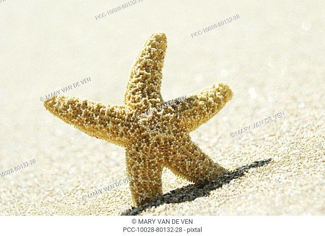 Orange seastar standing upright in sand
