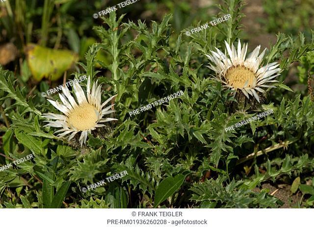 Common Silver thistle, Carlina acaulis ssp. acaulis / Gewöhnliche Silberdistel, Carlina acaulis ssp. acaulis