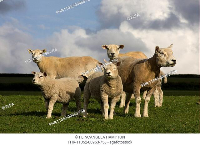 Domestic Sheep, Beltex ewes with lambs, standing in pasture, Carmarthenshire, South Wales, may