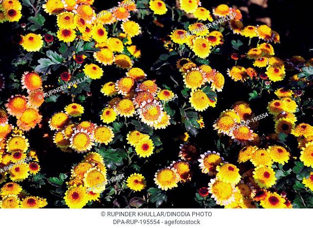 Gerbera flower family, india, asia