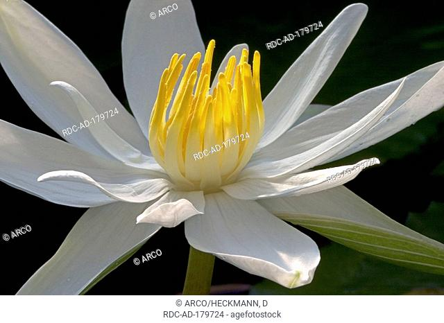 White Egyptian Lotus, Nymphaea lotus