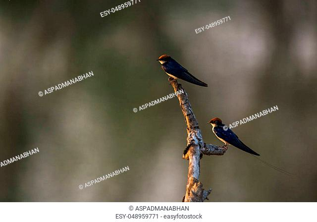 Two swallows sitting on top of a wood log in a wetland during sunset