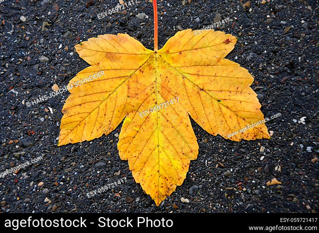 autumnal colored maple leaf on a wet street