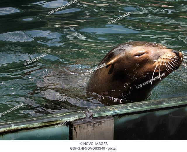 Sea Lion, Close-Up