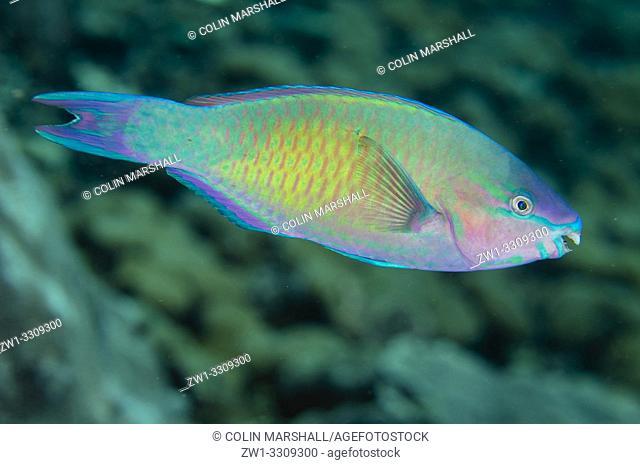 Palenose Parrotfish (Scarus psittacus), Sawanderek Jetty dive site, Mansuar Island, Dampier Straits, Raja Ampat, Indonesia
