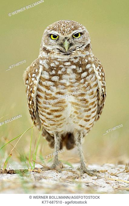 Burrowing Owl (Athene cunicularia). Florida, USA