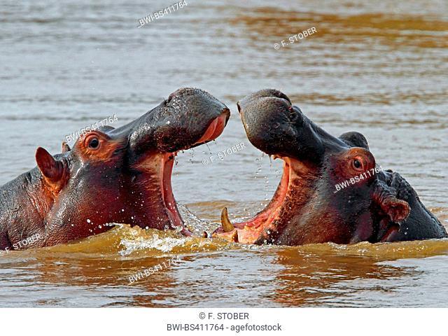 hippopotamus, hippo, Common hippopotamus (Hippopotamus amphibius), fighting hippos in water, Kenya, Masai Mara National Park