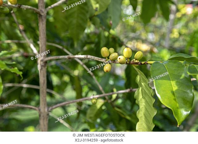Kealakekua, Hawaii - Green coffee beans on a tree at Greenwell Farms, a major producer of Kona Coffee