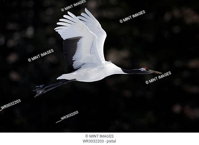 Red-crowned crane, Grus japonensi, Japanese crane, white with grey and patch of red bare skin on the crown, in flight