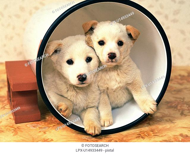 Two Puppies In a White Bucket, Looking at Camera, Front View