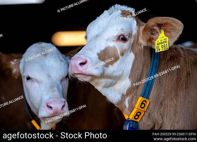 29 May 2020, North Rhine-Westphalia, Hopsten: Calves are standing in the barn of a bull fattening farm. After two years of drought and increased feed costs
