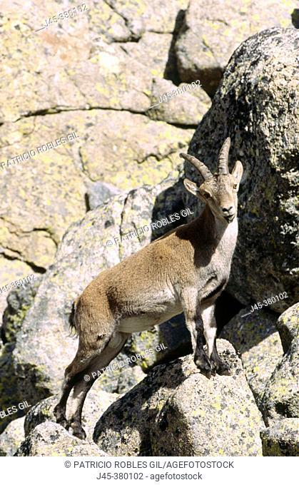Spanish ibex (Capra hispanica). Gredos. Spain